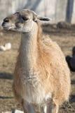 Llama's portrait. Portrait of happy Llama smiling Stock Photo
