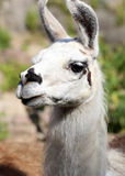Llama's portrait Stock Photography
