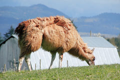 Llama's Thick Coat Royalty Free Stock Photography