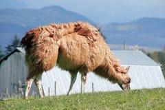 Llama's Thick Coat Royalty Free Stock Photography