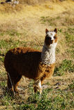 Llama in the Sacred Valley. A llama grazing in a  rural field high in the Andes in Peru Royalty Free Stock Images