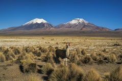 Llama in Sajama park. Llama in bolivian Sajama national park with picturesque volcanoes Paranicota and Pomerape in the background stock images