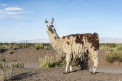 Llama in Salinas Grandes in Jujuy, Argentina. Royalty Free Stock Photo