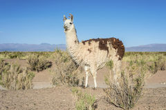 Llama in Salinas Grandes in Jujuy, Argentina. Royalty Free Stock Photography