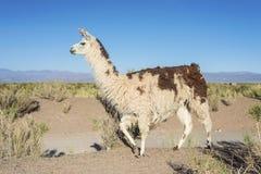 Llama in Salinas Grandes in Jujuy, Argentina. Stock Image