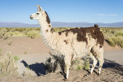 Llama in Salinas Grandes in Jujuy, Argentina. Stock Images