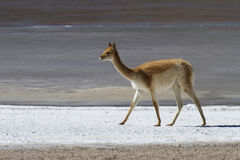 Llama on the salty banks. Of the lagoon in Chile Royalty Free Stock Photography