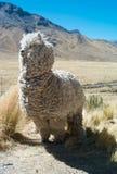 Llama salvaje en el Altiplano de Perú fotos de archivo libres de regalías