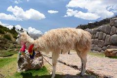 Llama at Saqsaywaman inca site. Cusco. Peru Royalty Free Stock Photos
