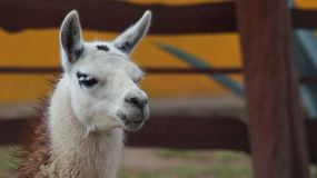 The llama (Scientific name: Lama glama) is a domesticated South American camelid Royalty Free Stock Photo