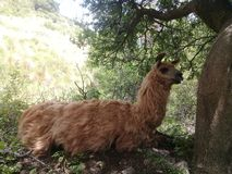 lama sitting in the shade stock photography