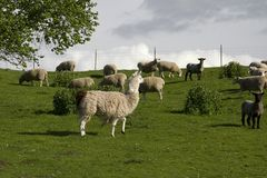 Llama and sheep. In a pasture royalty free stock images