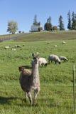 Llama and the sheep. Stock Images