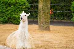 Llama sitting down. Llama in a compound in a park in London Royalty Free Stock Photography