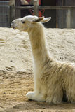 Llama sitting down. Llama in a compound in a park in London Stock Image