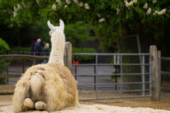 Llama sitting down. Llama in a compound in a park in London Stock Photography