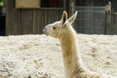 Llama sitting down. Llama in a compound in a park in London Stock Photos