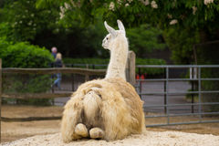 Llama sitting down. Llama in a compound in a park in London Stock Images