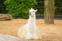 Llama sitting down. Llama in a compound in a park in London Royalty Free Stock Images