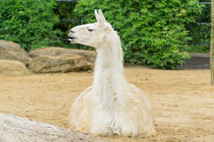 Llama sitting down. Llama in a compound in a park in London Stock Photo