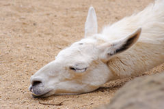 Llama sleeping Stock Photo
