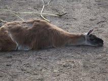 Llama sleeping Stock Photo