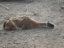 Llama sleeping Royalty Free Stock Photo