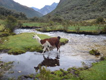 Llama at the small stream in the mountains Stock Images