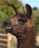 Llama Smile. Brown Llama Smiling for the camera Royalty Free Stock Image