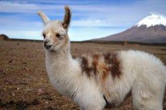 Llama smiling Royalty Free Stock Image