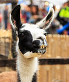 Llama smiling portrait. Royalty Free Stock Image