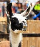 Llama smiling portrait. Royalty Free Stock Image
