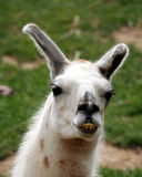 A Llama, a South American Animal Royalty Free Stock Image
