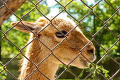 Llama standing behind the fence Stock Images