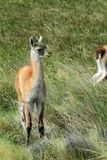 Llamas in the Grass Stock Images