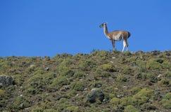 Llama standing on hillside Stock Image
