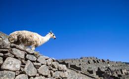 Llama standing in Macchu picchu ruins Stock Image