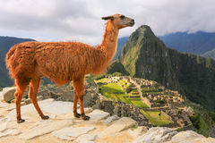 Llama standing at Machu Picchu overlook in Peru. In 2007 Machu Picchu was voted one of the New Seven Wonders of the World Royalty Free Stock Images