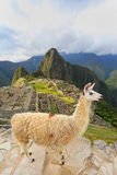 Llama standing at Machu Picchu overlook in Peru. In 2007 Machu Picchu was voted one of the New Seven Wonders of the World Stock Photos