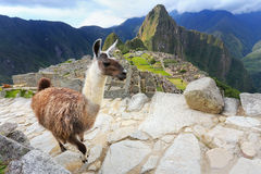 Llama standing at Machu Picchu overlook in Peru. In 2007 Machu Picchu was voted one of the New Seven Wonders of the World Stock Image