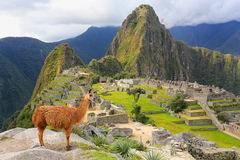 Llama standing at Machu Picchu overlook in Peru. In 2007 Machu Picchu was voted one of the New Seven Wonders of the World Royalty Free Stock Image