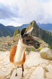 Llama standing at Machu Picchu overlook in Peru. In 2007 Machu Picchu was voted one of the New Seven Wonders of the World Stock Photo