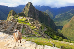 Llama standing at Machu Picchu overlook in Peru. In 2007 Machu Picchu was voted one of the New Seven Wonders of the World Stock Photography