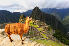 Llama standing at Machu Picchu overlook in Peru. In 2007 Machu Picchu was voted one of the New Seven Wonders of the World Royalty Free Stock Photography
