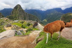 Llama standing at Machu Picchu overlook in Peru. In 2007 Machu Picchu was voted one of the New Seven Wonders of the World Royalty Free Stock Photo