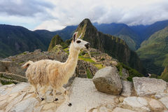 Llama standing at Machu Picchu overlook in Peru. In 2007 Machu Picchu was voted one of the New Seven Wonders of the World Royalty Free Stock Photos