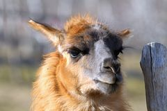 Llama standing near farm fence Royalty Free Stock Image