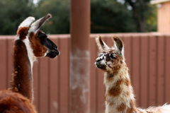 Llama stare down. Stock Photography