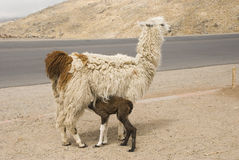 Llama Suckling her Young Stock Photo