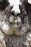 Llama Teeth Royalty Free Stock Photo